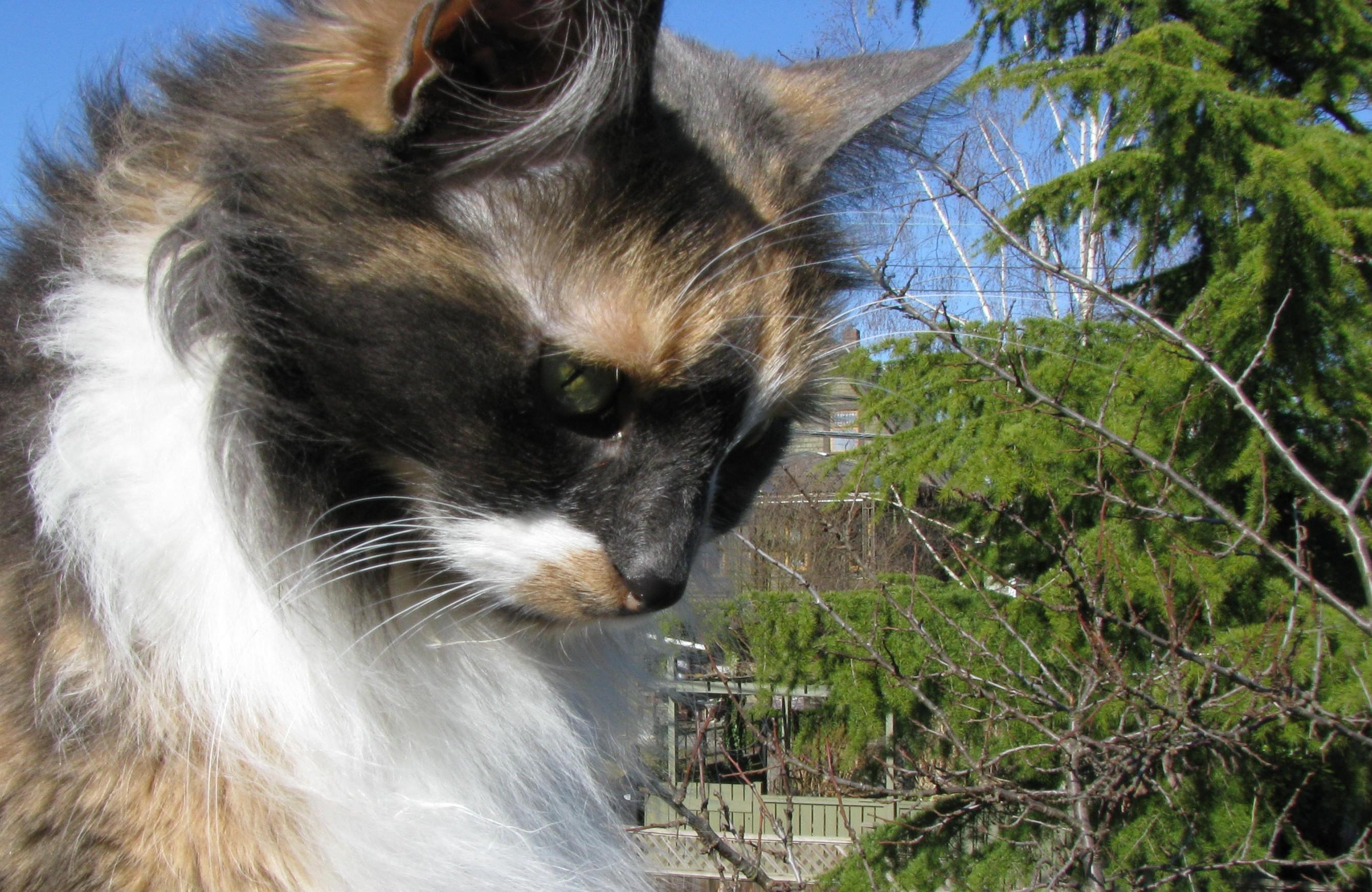 calico-cat